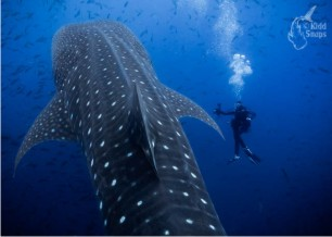 Barb_with_Whale_Shark_01