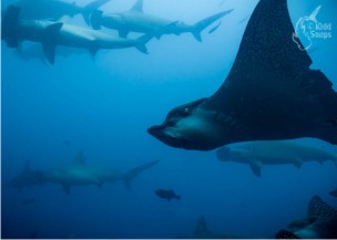 Eagle_Ray_with_Hammerheads_01
