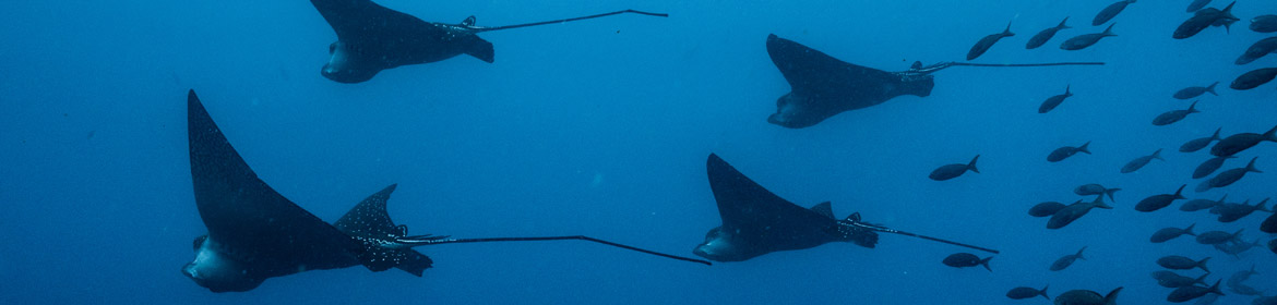 Eagle-Ray-School-Galapagos