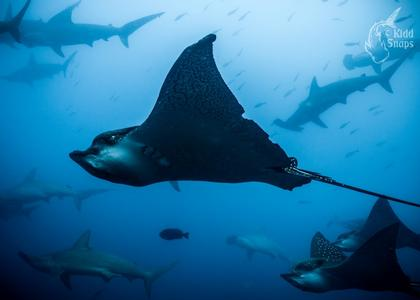 Eagle Rays And Hammerheads