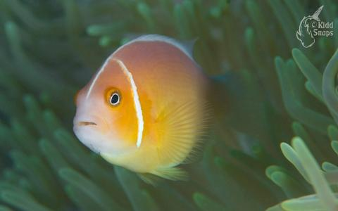 Anemone Fish At Home