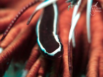 Macro Worm Inside Brittle Star